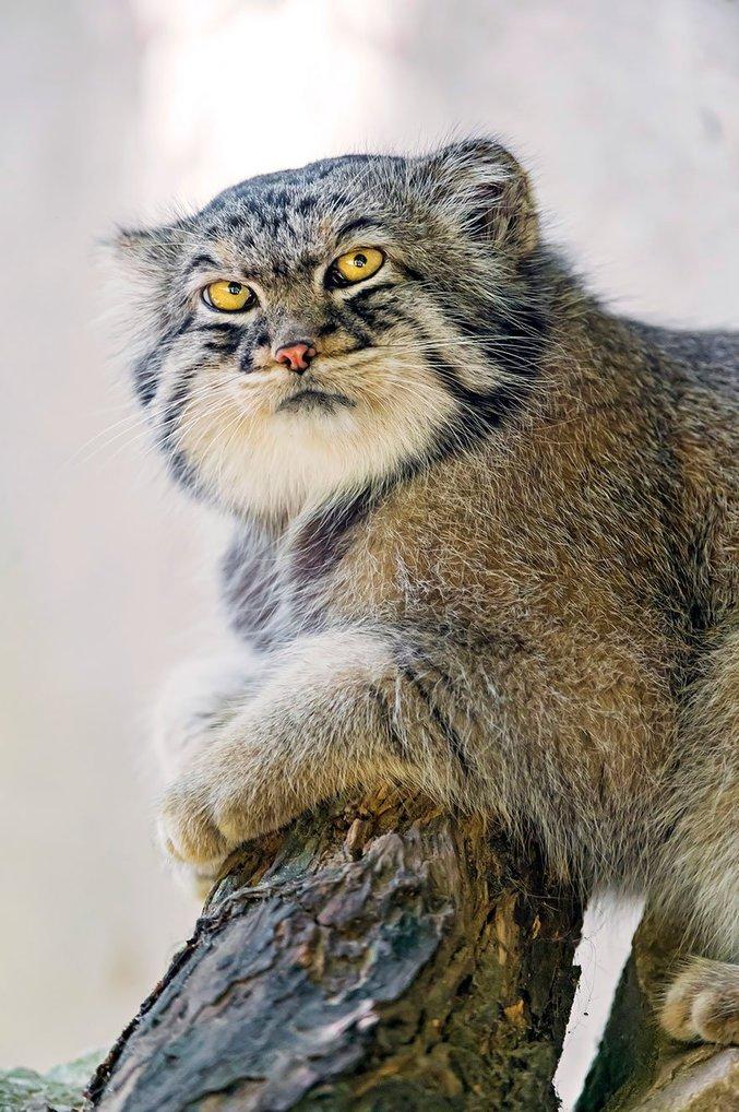 Le chat de Pallas est l'un des rares félin avec des pupilles rondes. Ce qui lui donne ce regard très particulier.