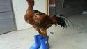 """Le coq gaulois n'aura plus jamais les """"pieds"""" dans le fumier"""