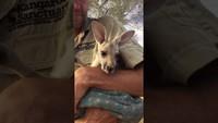 Un kangourou orphelin