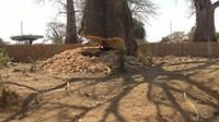 comment couper un baobab?