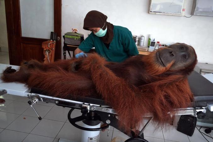 Un vétérinaire du programme de Conservation des Orang-Outans examine un mâle de 14 ans, découvert avec une balle de métal dans la jambe sur l'île de Sumatra.