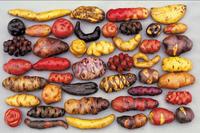 Quelques-unes des 4 000 variétés de pommes de terre péruviennes