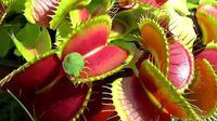 Plante carnivore, la dionée attrape-mouche
