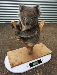 Combien pèse un Koala ?