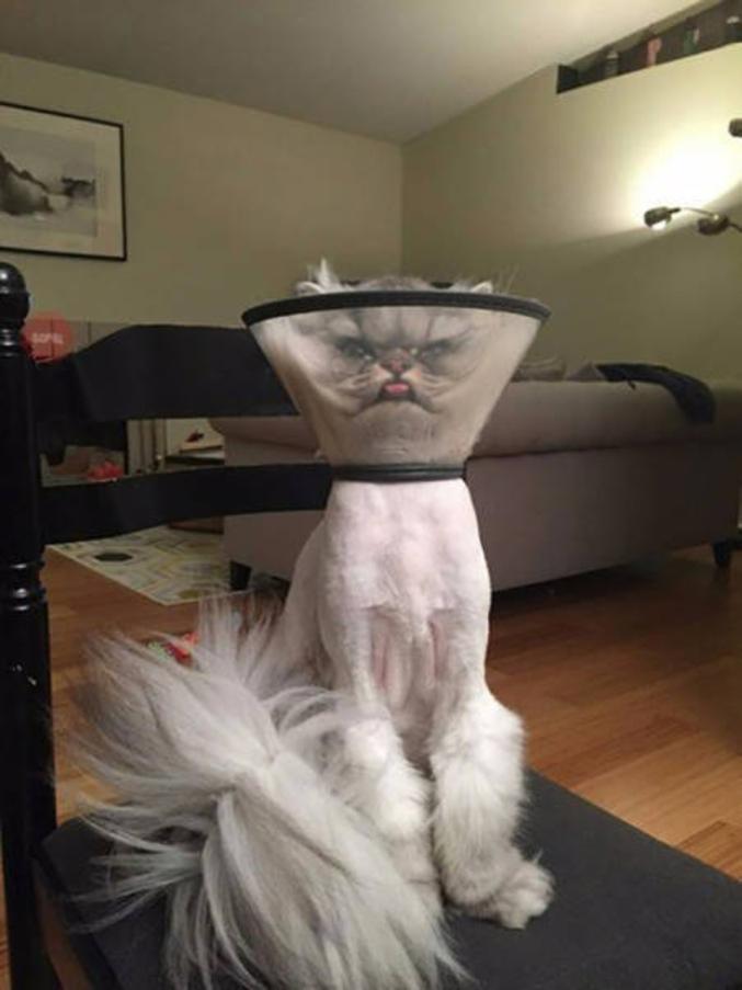 Chat angora semi rasé avec une collerette...