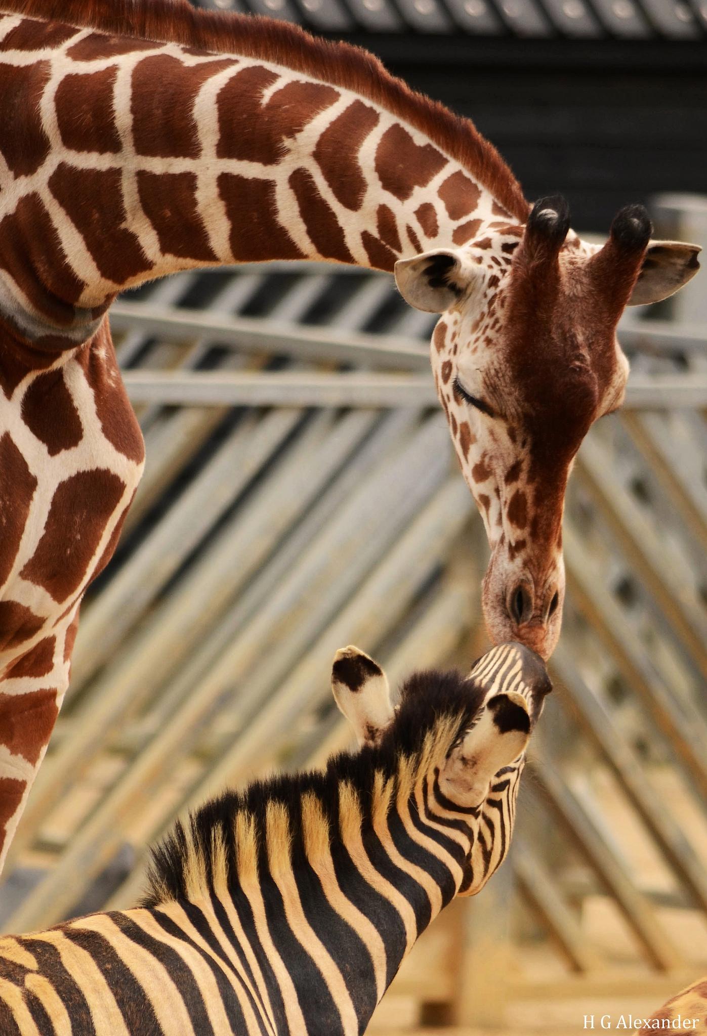 Un bisou entre un z bre et une girafe for Prix d une girafe a poncer