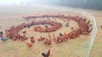 Rituel de poules