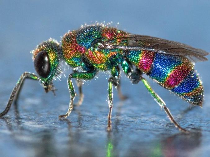 Guêpe Chrysididae d'Afrique du Sud. Ce sont des guêpes cleptoparasites : elles pondent dans d'autres nids de guêpes et d'insectes. Quand leurs larves éclosent, elles mangent les autres œufs ou larves. Miam !