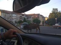 Pourquoi la vache traverse la route