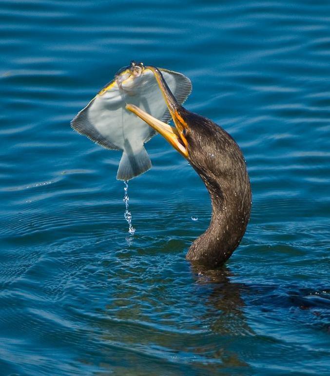 Un cormoran a fait une belle prise, mais la difficulté n'est plus là.