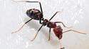 Deux espèces de fourmis