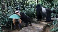 Des gorilles curieux