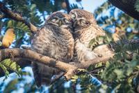 L'amour chouette