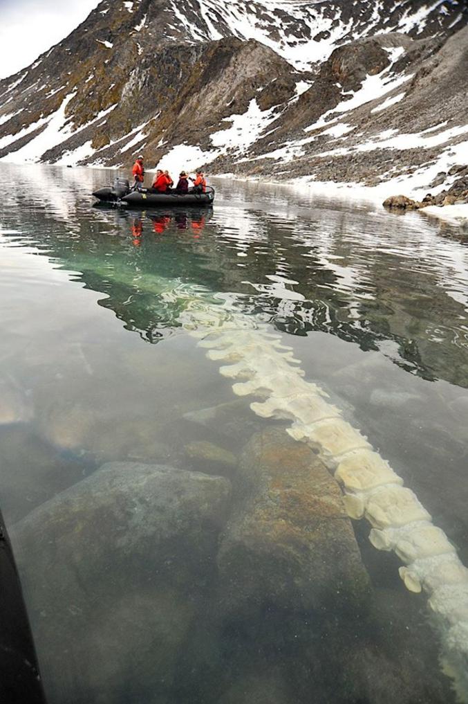 La colonne vertébrale d'un rorqual commun, dont des ours polaires se nourrirent de la carcasse pendant près d'un an. Elle est ici complètement nettoyée, sous les eaux de Svalbard en Norvège.
