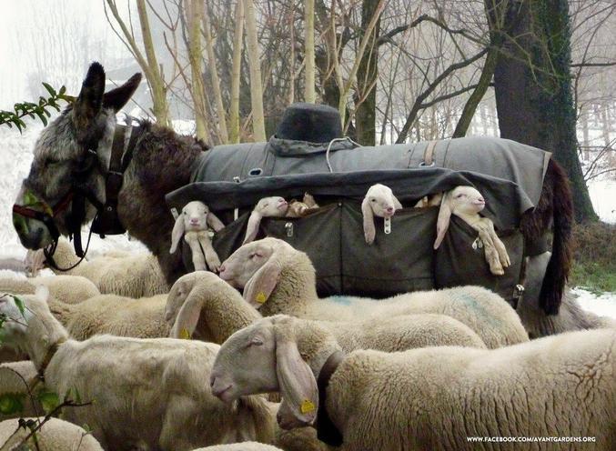 """Ils ont des ânes """"nourrices"""" pour transporter les agneaux nouveaux-nés depuis les montagnes lors des transhumances hivernales."""