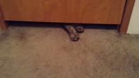 Un gros chat passe sous une porte