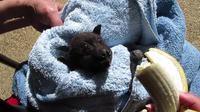 Sauvetage d'une chauve-souris australienne