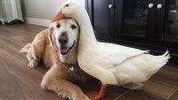 Un chien et un canard