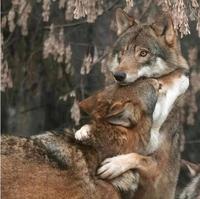 """Le jeu """"Que pourrait bien dire ..."""" n°03 : Ce loup préoccupé ?"""