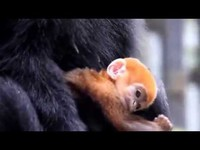 un singe roux