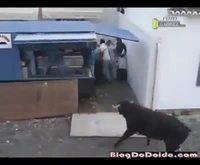 Des taureaux contre la bêtise humaine