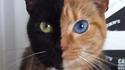 Un chat chimere