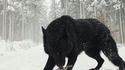 Un loup noir