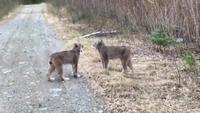 Dispute entre lynx