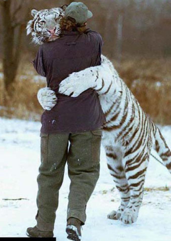 Un tigre fait un gros câlin à son soigneur.