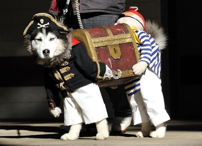 Un chien pirate.