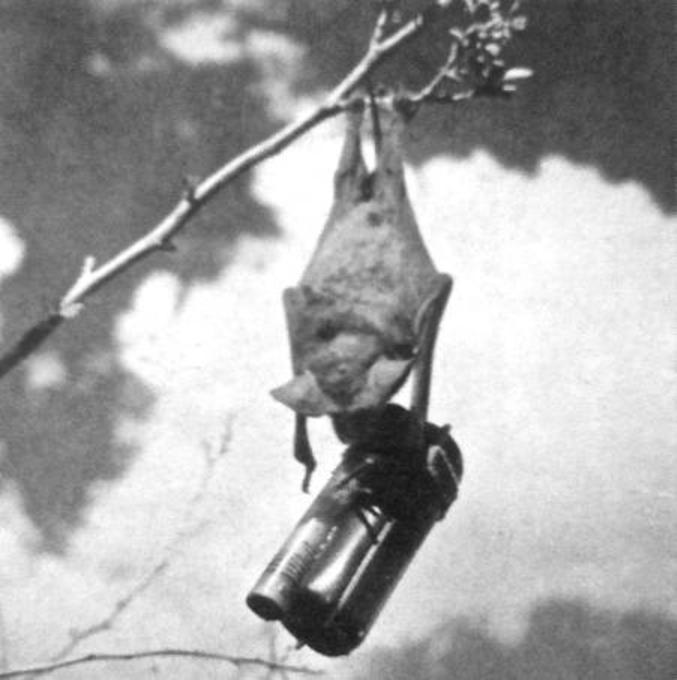 le projet X-ray est un projet militaire secret américain de la deuxième guerre mondiale. L'idée était de fixer une charge incendiaire sur des chauve-souris. On plaçait ensuite plusieurs centaines de chauve-souris en état d'hibernation dans une espèce de silo troué. Le silo était largué au-dessus de l'objectif, de nuit. Un parachute se déployait et ralentissait sa chute. L'air chaud réveillait les chauve-souris puis des panneaux s'ouvraient sur le container pour les laisser s'envoler. Les chauves-souris partaient se réfugier sous les toits des habitations. Au petit matin, les charges incendiaires se déclenchaient toutes en même temps.  Les militaires avaient calculé que ce genre de bombe aurait pu être 10 fois plus efficace que leurs meilleures (pires?) bombes incendiaires, en particulier au Japon où l'essentiel des habitations étaient faites de bois et de bambous. Manque de pot, les chauve-souris semblaient préférer batifoler dans les cavernes et la nature plutôt que s'approcher des habitations humaines.  Le projet fut abandonné courant 1944. Ce qui n'a pas empêché les chauve-souris incendiaires de fiche le feu à une base militaire américaine dans le Nouveau Mexique.