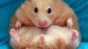 Hamster obèse