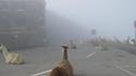 Il y avait des Lamas dans Silent Hill ?
