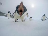 un pingouin !