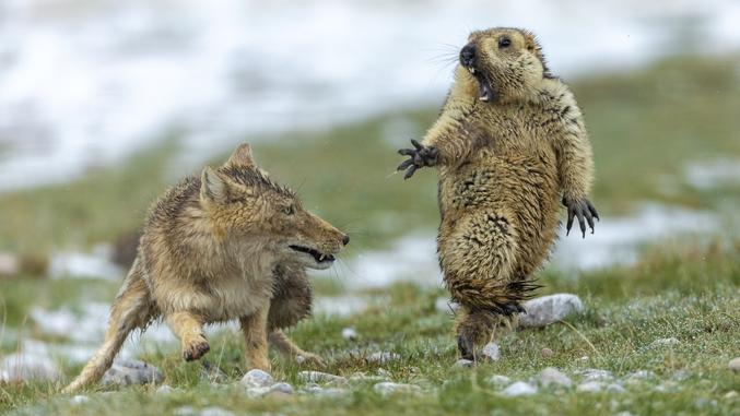 Yongqing Bao a remporté le premier prix du photographe animalier de l'année, décerné chaque année par le Natural History Museum de Londres, pour cette photo d'un affrontement entre un renard tibétain et une marmotte, capturée dans la réserve naturelle nationale des monts Qilian en Chine.