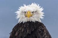 Un aigle en pétard