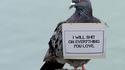 La vengeance du pigeon