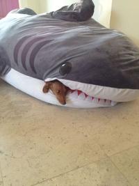 Un requin dévore un chien!
