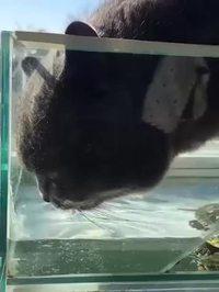 Le chat boit