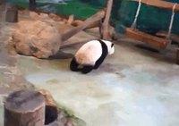 Un panda et un hamac