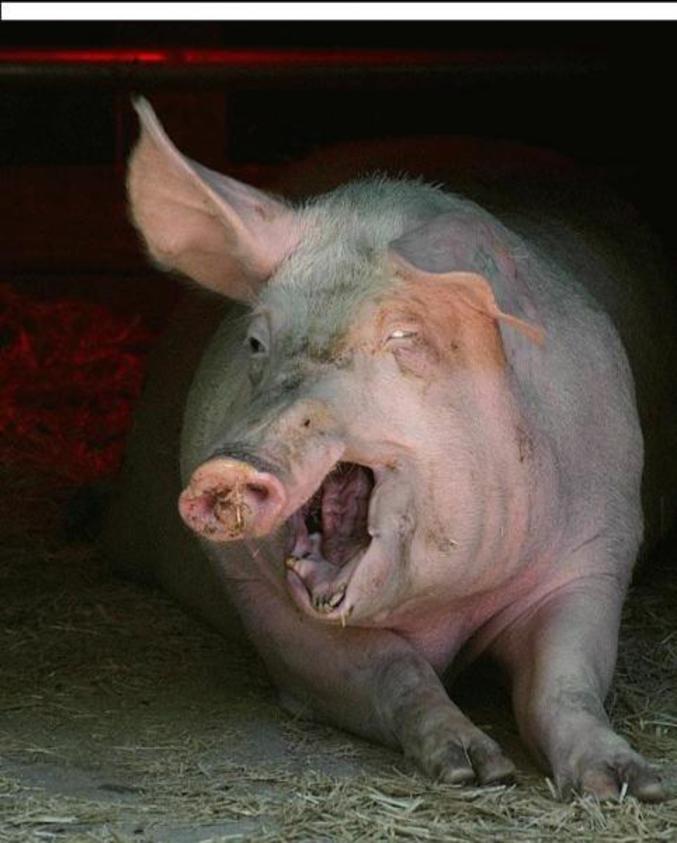 Une belle tête de cochon
