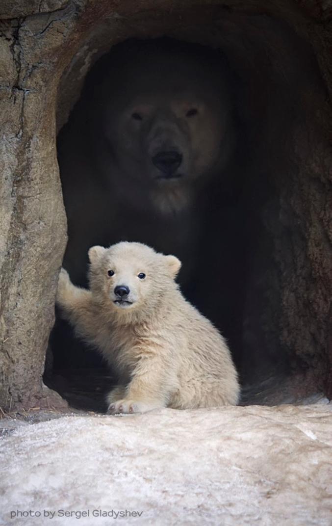 Et voilà comment les ours polaires piègent leurs proies.