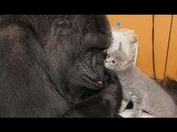 Koko le gorille qui fait des câlins aux chatons