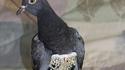 Elle trouve un pigeon en slip à paillettes dans son jardin