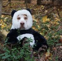 Le pandog