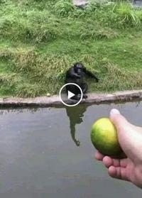 Comment leurrer un hominidé ?