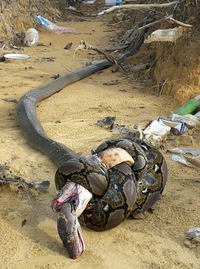 C'est lequel le plus fort, le cobra ou le python ?