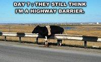 Vache en infiltration