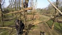 Un chimpanzé attaque un drone avec un bâton