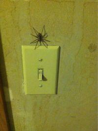 Araignée troll